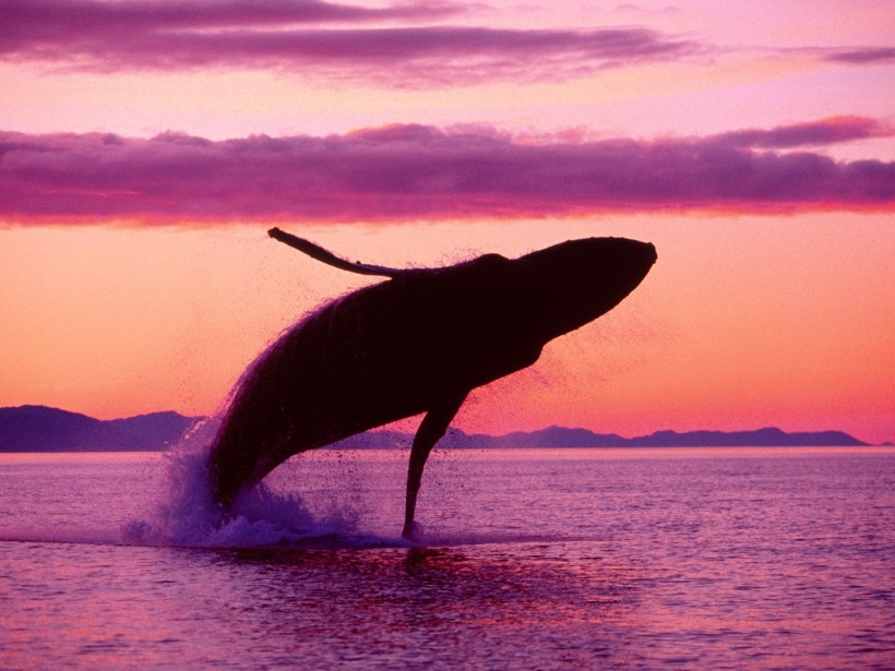 Blue Whale jumping